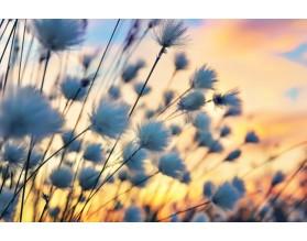 COTTON GRASS - obraz na płótnie - grafika